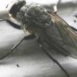 Overwintering Pest (Cluster Flies)